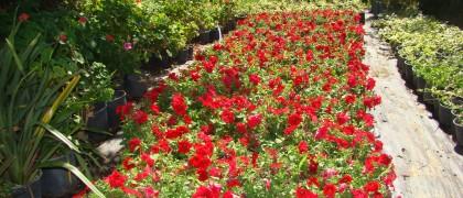 Bitki üretimi ve Satışı Yalıkavak Gökçebel Mevkii Seramız